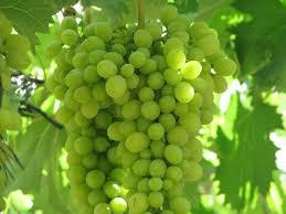 فوائد العنب الصحيه
